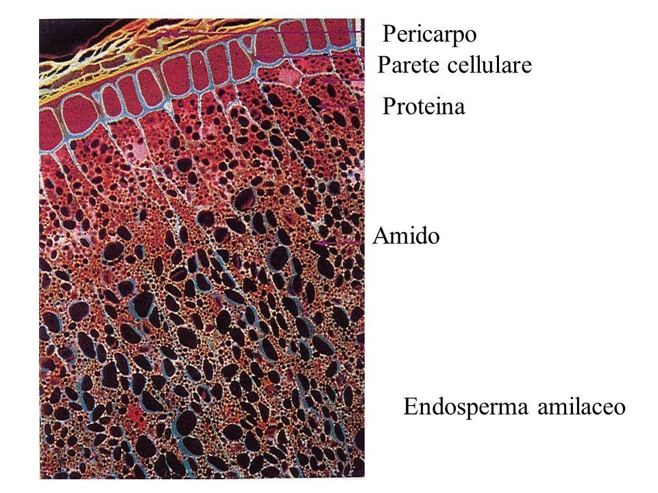 Pericarpo Parete cellulare Proteina Amido Endosperma amilaceo