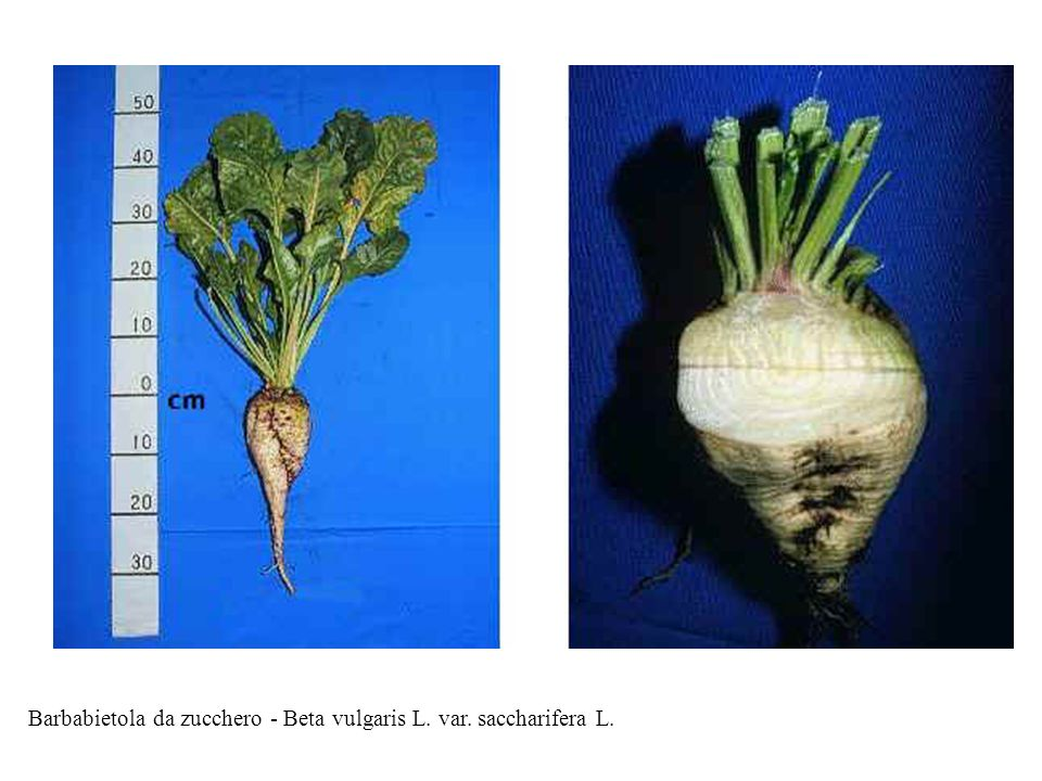 Barbabietola da zucchero - Beta vulgaris L. var. saccharifera L.