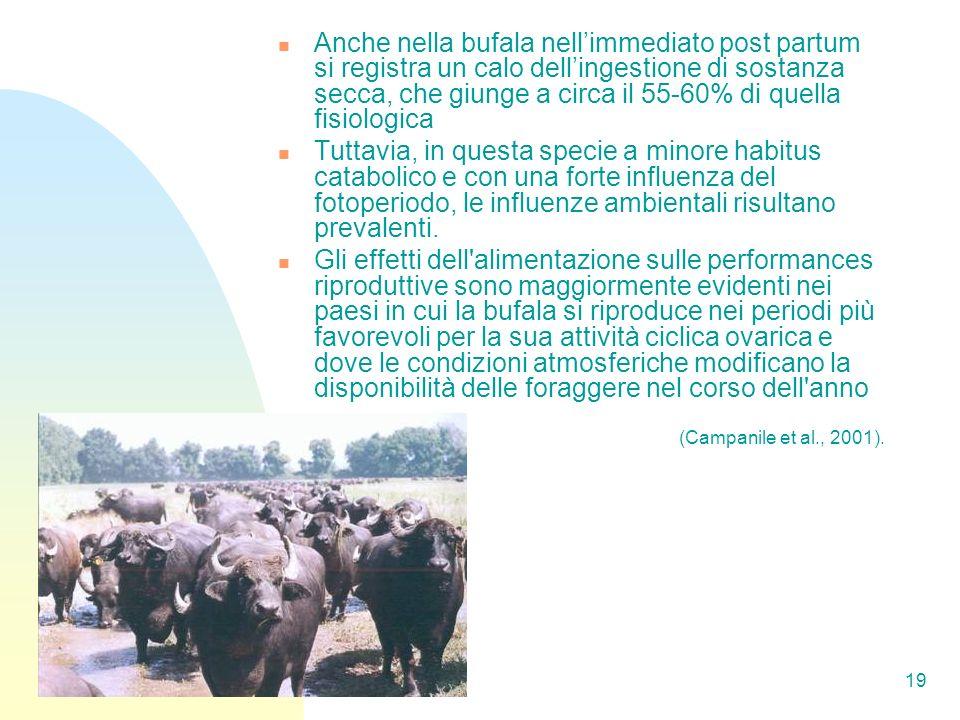 Anche nella bufala nell'immediato post partum si registra un calo dell'ingestione di sostanza secca, che giunge a circa il 55-60% di quella fisiologica