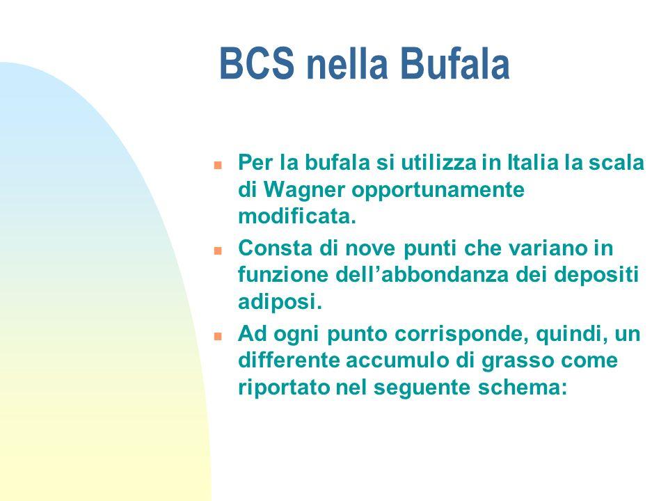 BCS nella Bufala Per la bufala si utilizza in Italia la scala di Wagner opportunamente modificata.