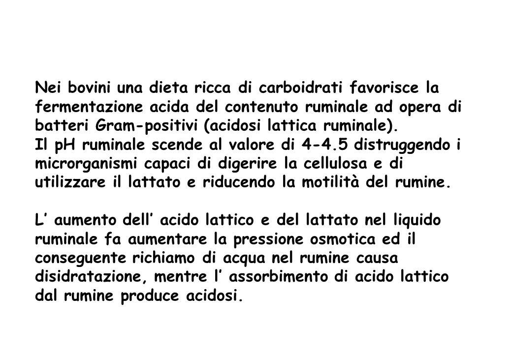 Nei bovini una dieta ricca di carboidrati favorisce la fermentazione acida del contenuto ruminale ad opera di batteri Gram-positivi (acidosi lattica ruminale).