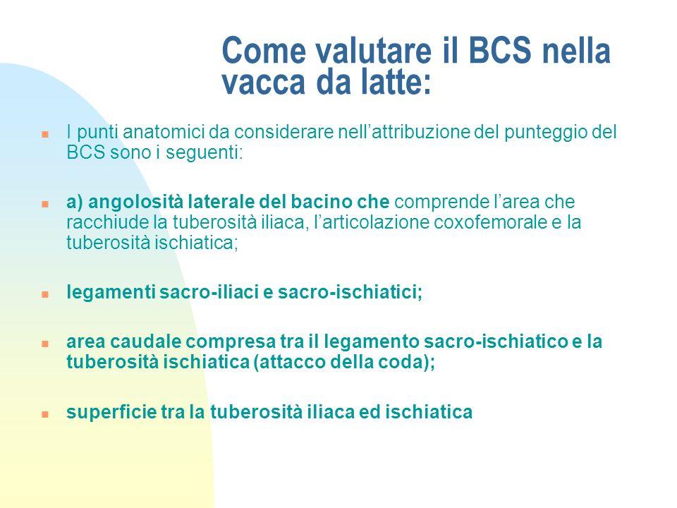 Come valutare il BCS nella vacca da latte: