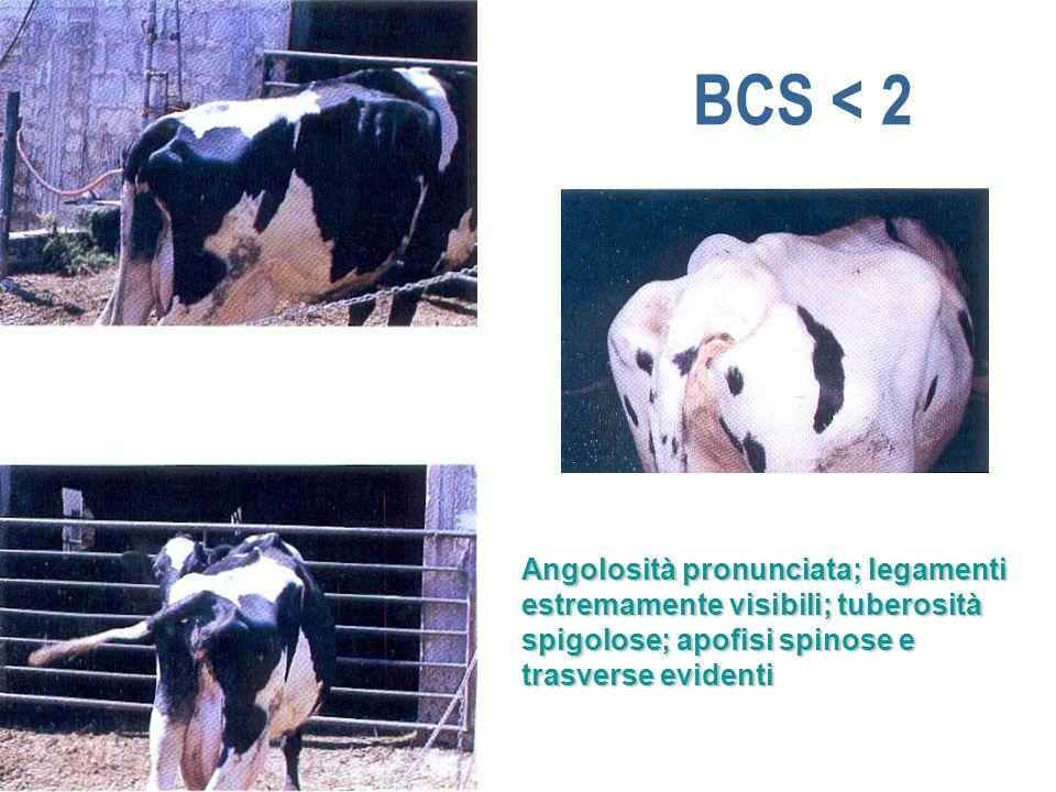 BCS < 2 Angolosità pronunciata; legamenti estremamente visibili; tuberosità spigolose; apofisi spinose e trasverse evidenti.
