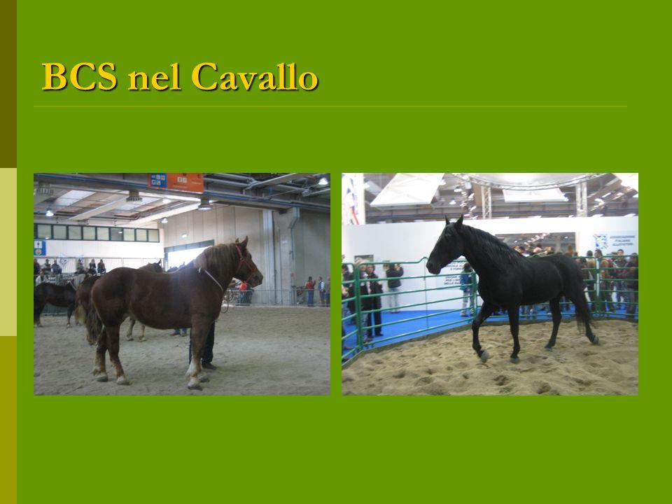 BCS nel Cavallo