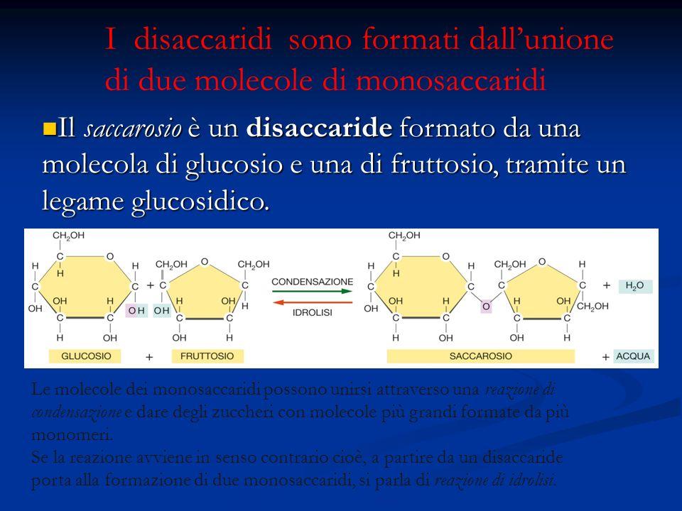 I disaccaridi sono formati dall'unione di due molecole di monosaccaridi