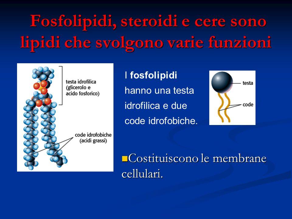 Fosfolipidi, steroidi e cere sono lipidi che svolgono varie funzioni