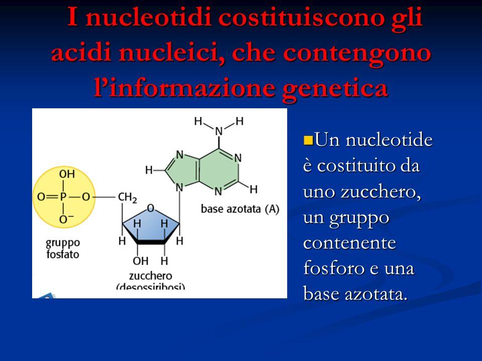 I nucleotidi costituiscono gli acidi nucleici, che contengono l'informazione genetica