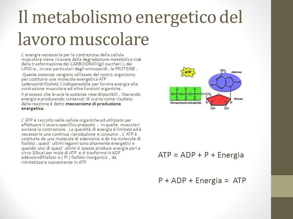 Il metabolismo energetico del lavoro muscolare