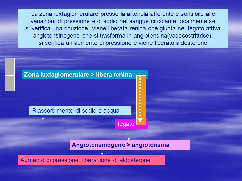 La zona iuxtaglomerulare presso la arteriola afferente è sensibile alle variazioni di pressione e di sodio nel sangue circolante localmente:se si verifica una riduzione, viene liberata renina che giunta nel fegato attiva angiotensinogeno che si trasforma in angiotensina(vasocostrittrice): si verifica un aumento di pressione e viene liberato aldosterone