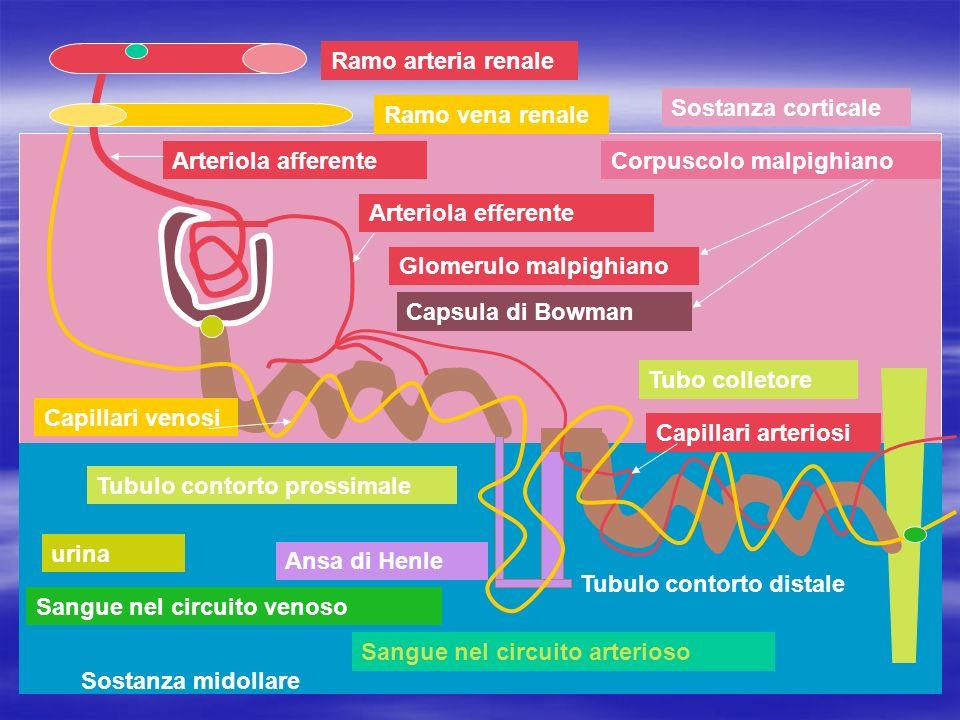 Ramo arteria renale Sostanza corticale. Ramo vena renale. Arteriola afferente. Corpuscolo malpighiano.