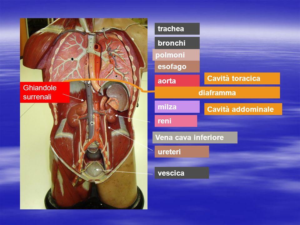 trachea bronchi. polmoni. esofago. Cavità toracica. aorta. Ghiandole surrenali. diaframma. milza.