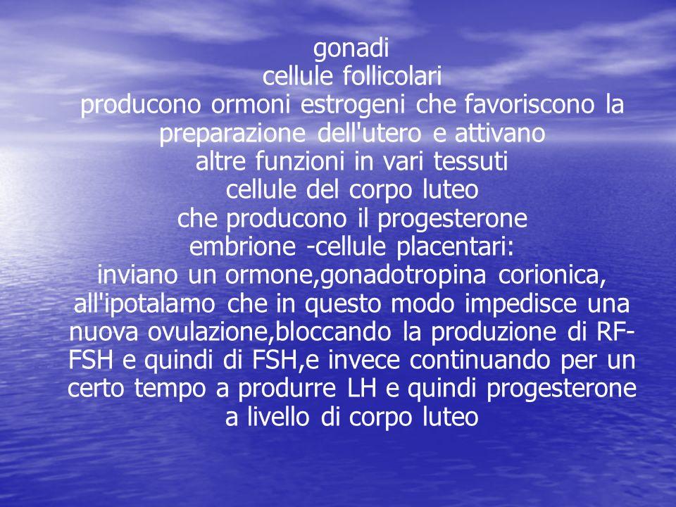 gonadi cellule follicolari producono ormoni estrogeni che favoriscono la preparazione dell utero e attivano altre funzioni in vari tessuti cellule del corpo luteo che producono il progesterone embrione -cellule placentari: inviano un ormone,gonadotropina corionica, all ipotalamo che in questo modo impedisce una nuova ovulazione,bloccando la produzione di RF-FSH e quindi di FSH,e invece continuando per un certo tempo a produrre LH e quindi progesterone a livello di corpo luteo
