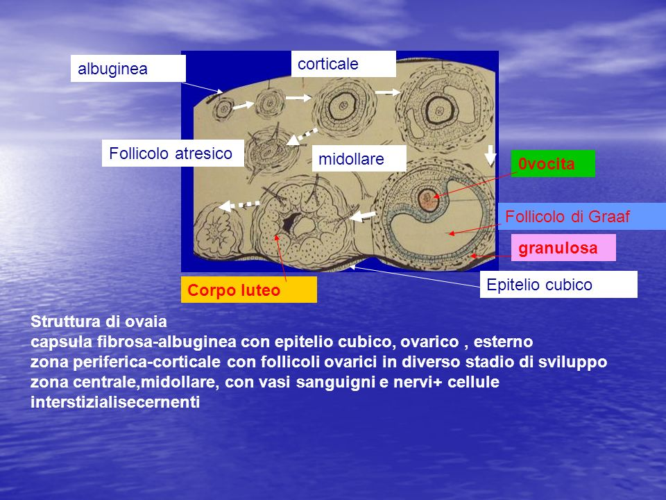 corticale albuginea. Follicolo atresico. midollare. 0vocita. Follicolo di Graaf. granulosa. Epitelio cubico.