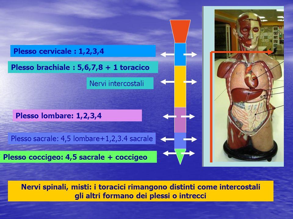 Plesso cervicale : 1,2,3,4Plesso brachiale : 5,6,7,8 + 1 toracico. Nervi intercostali. Plesso lombare: 1,2,3,4.