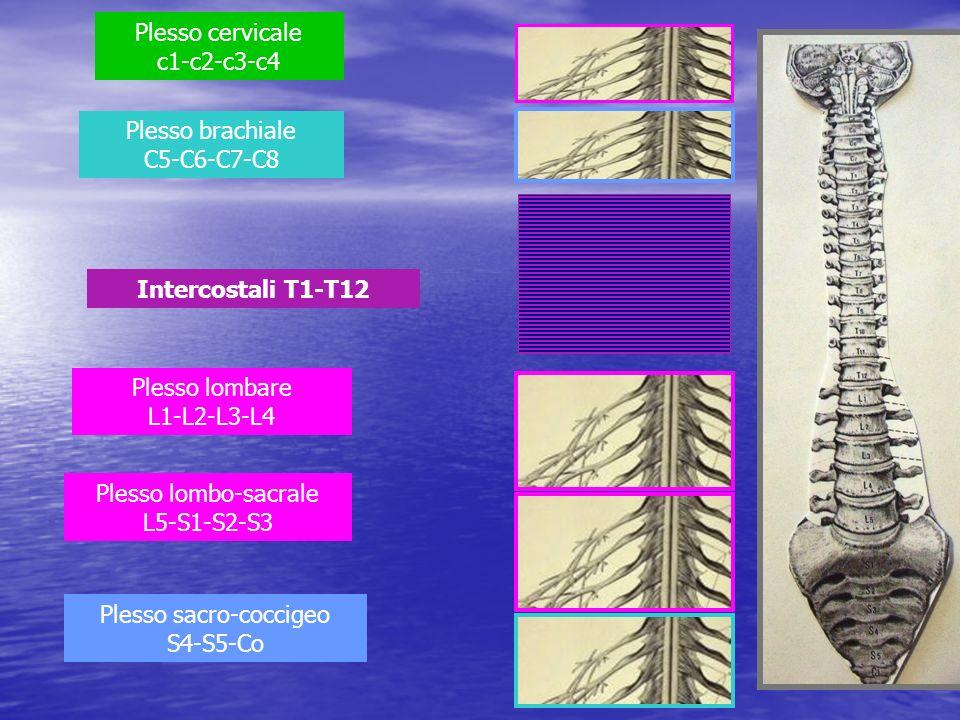 Plesso cervicale c1-c2-c3-c4
