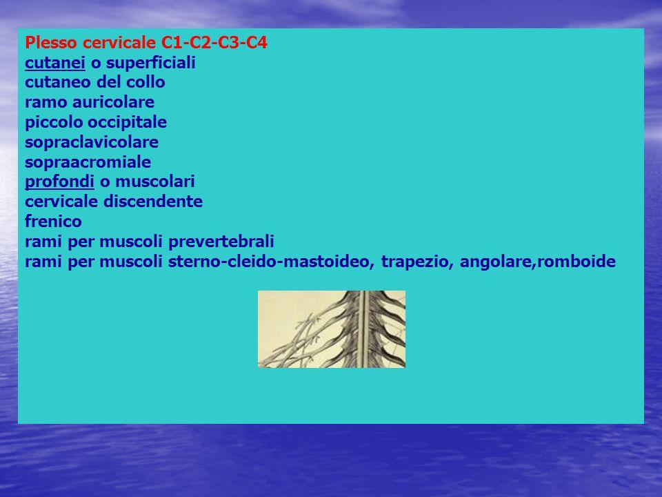 Plesso cervicale C1-C2-C3-C4 cutanei o superficiali cutaneo del collo ramo auricolare piccolo occipitale sopraclavicolare sopraacromiale profondi o muscolari cervicale discendente frenico rami per muscoli prevertebrali rami per muscoli sterno-cleido-mastoideo, trapezio, angolare,romboide