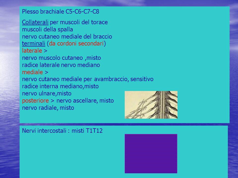 Plesso brachiale C5-C6-C7-C8