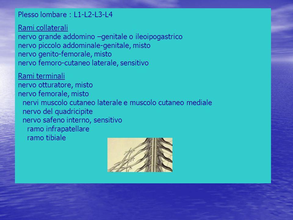 Plesso lombare : L1-L2-L3-L4