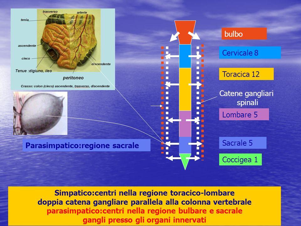 Catene gangliari spinali