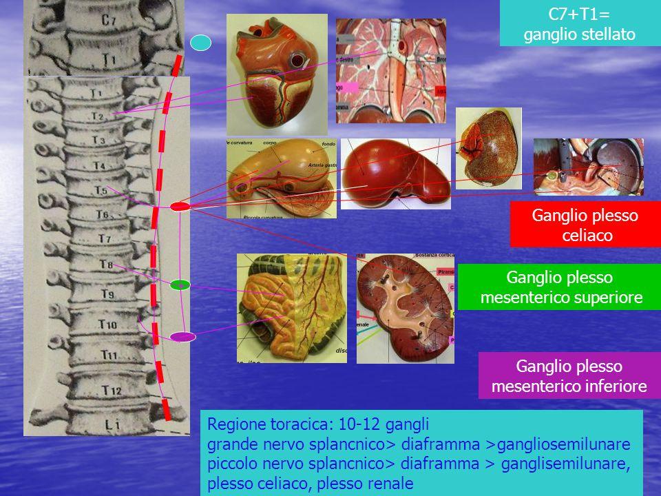 Ganglio plesso celiaco