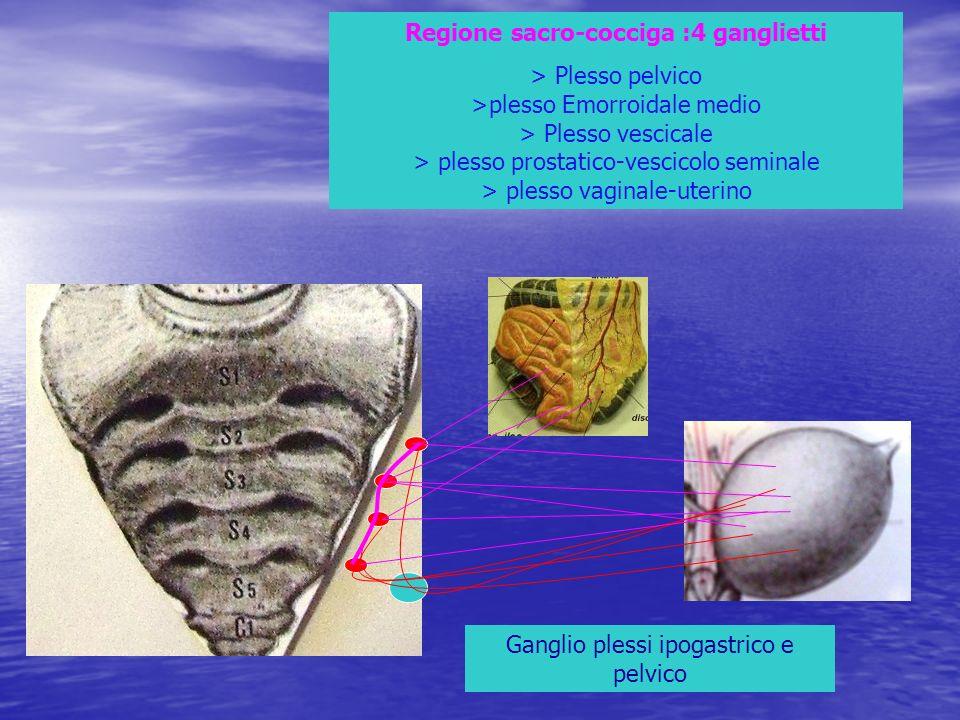 Regione sacro-cocciga :4 ganglietti
