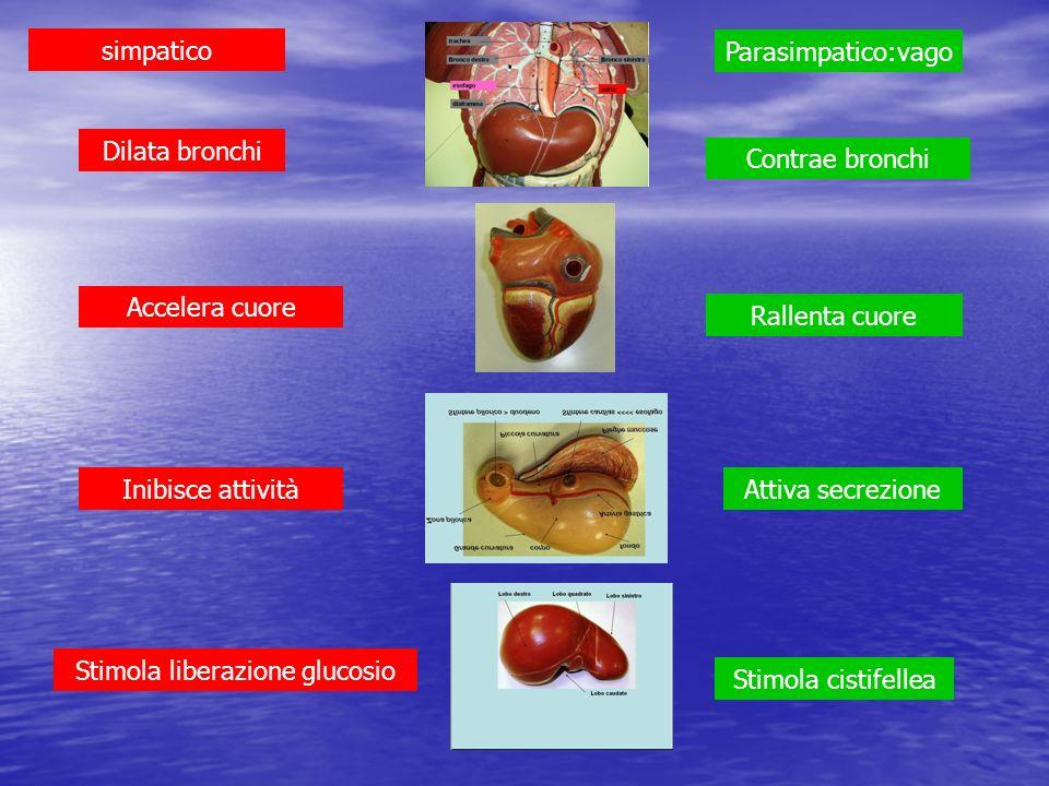 Stimola liberazione glucosio