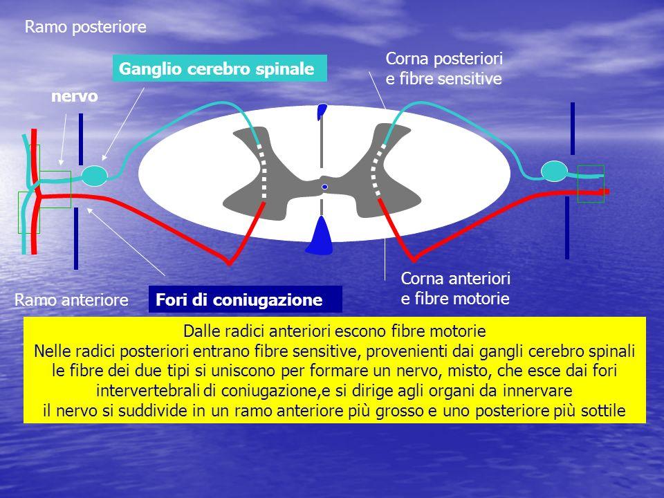 Ramo posterioreCorna posteriori e fibre sensitive. Ganglio cerebro spinale. nervo. Corna anteriori e fibre motorie.