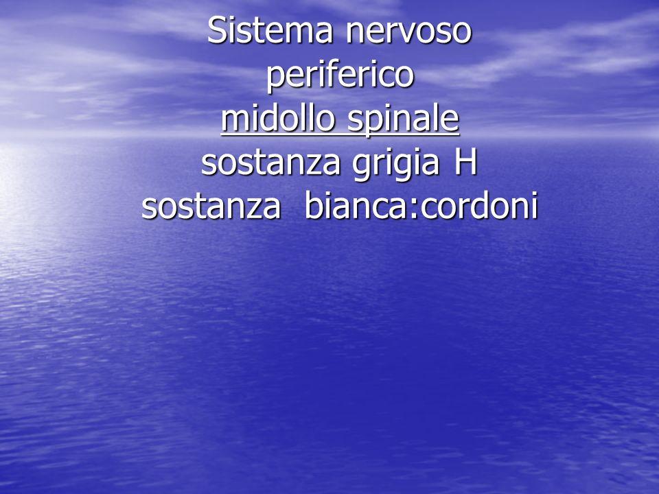 Sistema nervoso periferico midollo spinale sostanza grigia H sostanza bianca:cordoni