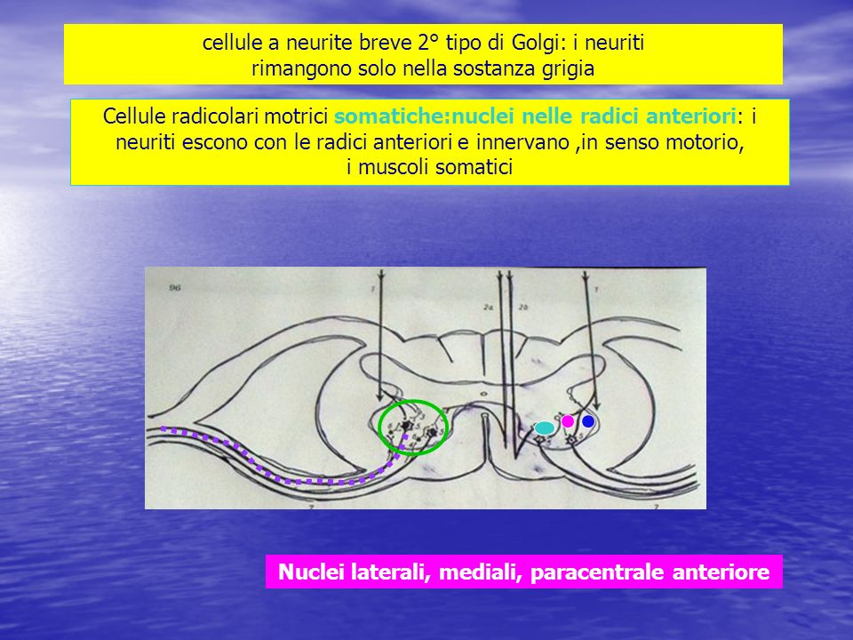Nuclei laterali, mediali, paracentrale anteriore