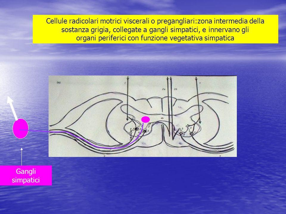 Cellule radicolari motrici viscerali o pregangliari:zona intermedia della sostanza grigia, collegate a gangli simpatici, e innervano gli organi periferici con funzione vegetativa simpatica