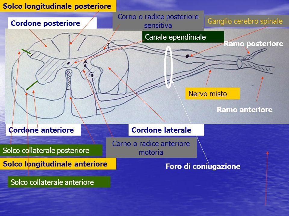 Solco longitudinale posteriore Corno o radice posteriore sensitiva