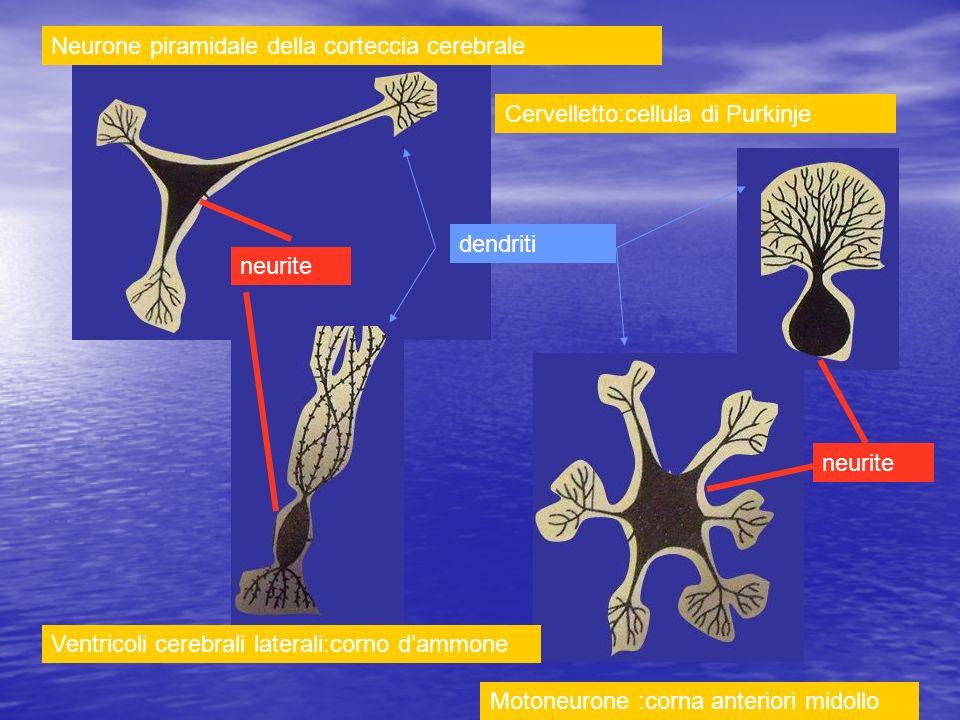 Neurone piramidale della corteccia cerebrale