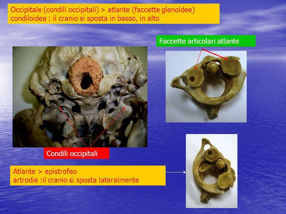 Occipitale (condili occipitali) > atlante (faccette glenoidee) condiloidea : il cranio si sposta in basso, in alto