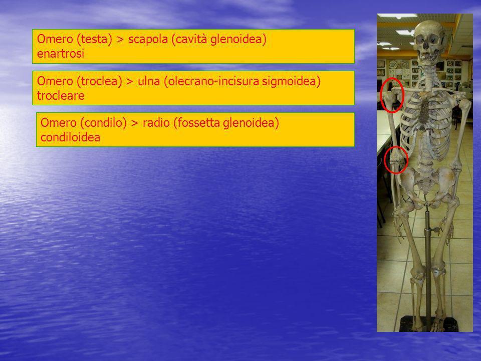 Omero (testa) > scapola (cavità glenoidea) enartrosi
