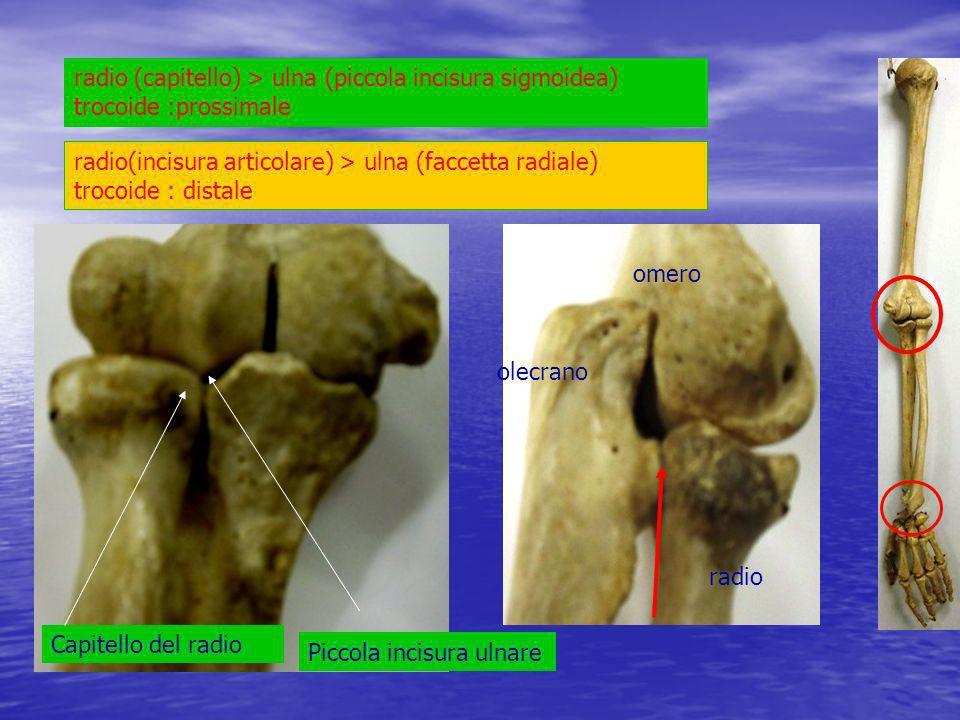 radio (capitello) > ulna (piccola incisura sigmoidea) trocoide :prossimale