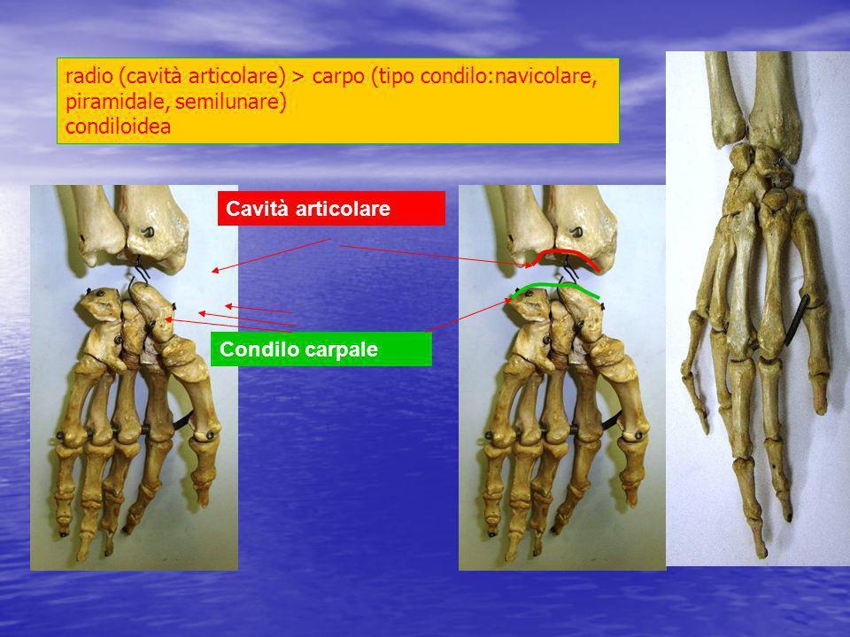 radio (cavità articolare) > carpo (tipo condilo:navicolare, piramidale, semilunare) condiloidea