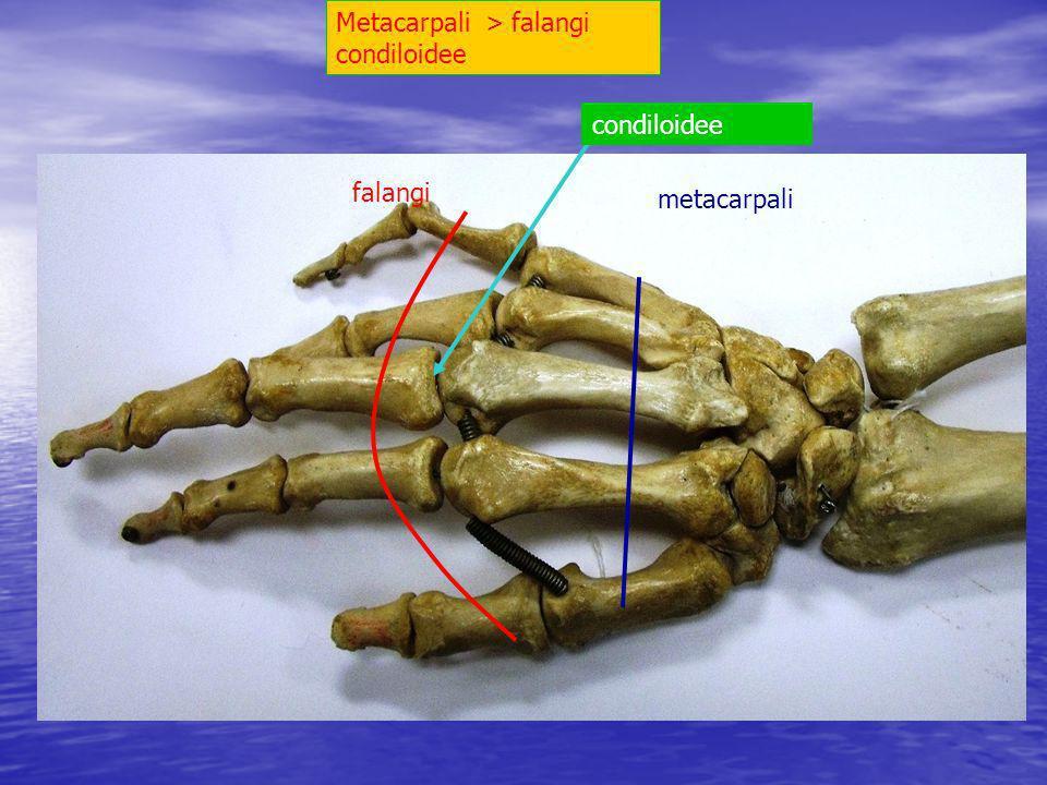 Metacarpali > falangi condiloidee