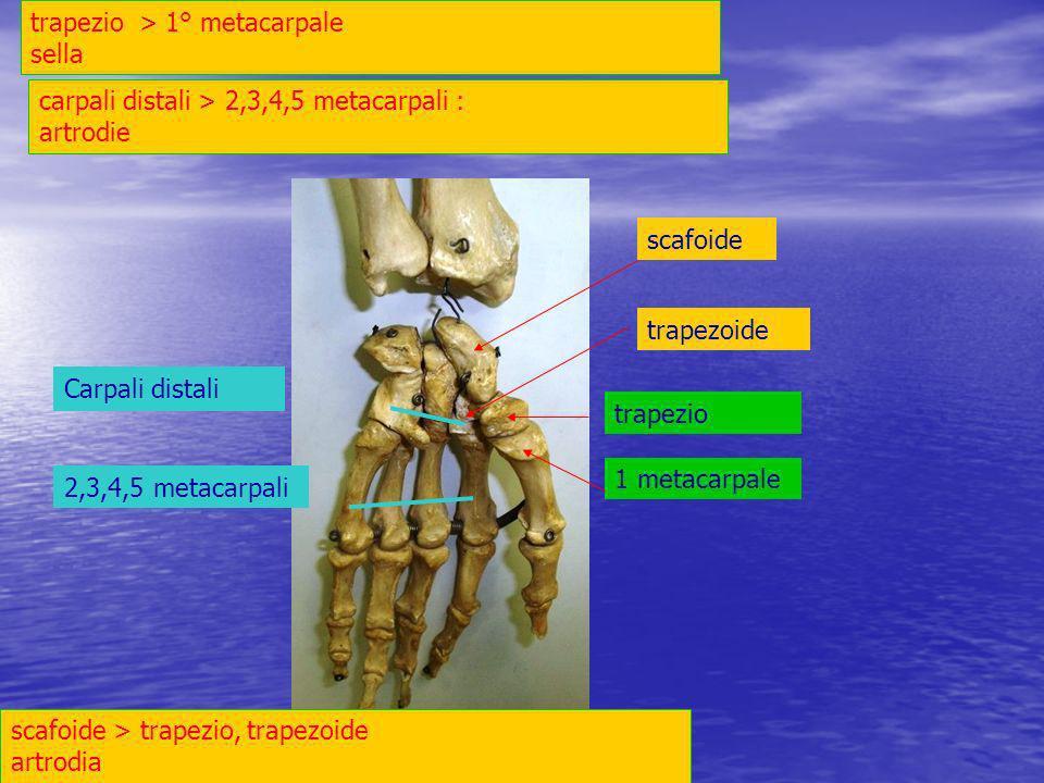 trapezio > 1° metacarpale sella