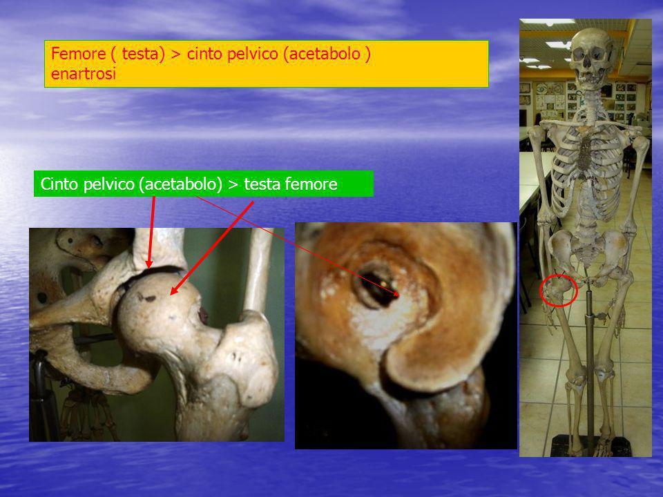 Femore ( testa) > cinto pelvico (acetabolo ) enartrosi