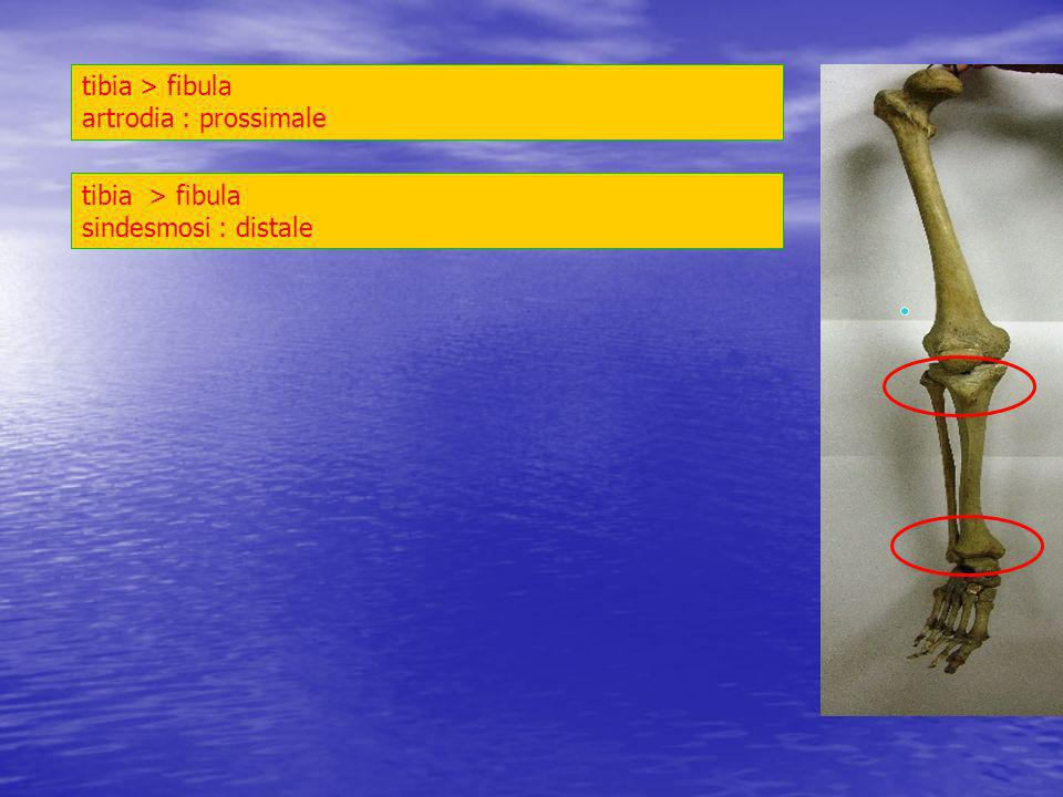 tibia > fibula artrodia : prossimale