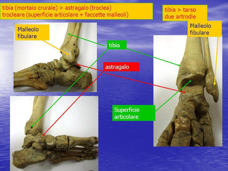 tibia (mortaio crurale) > astragalo (troclea) trocleare (superficie articolare + faccette malleoli) tibia > tarso due artrodie.