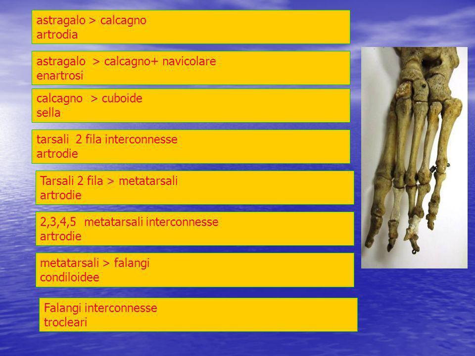 astragalo > calcagno artrodia