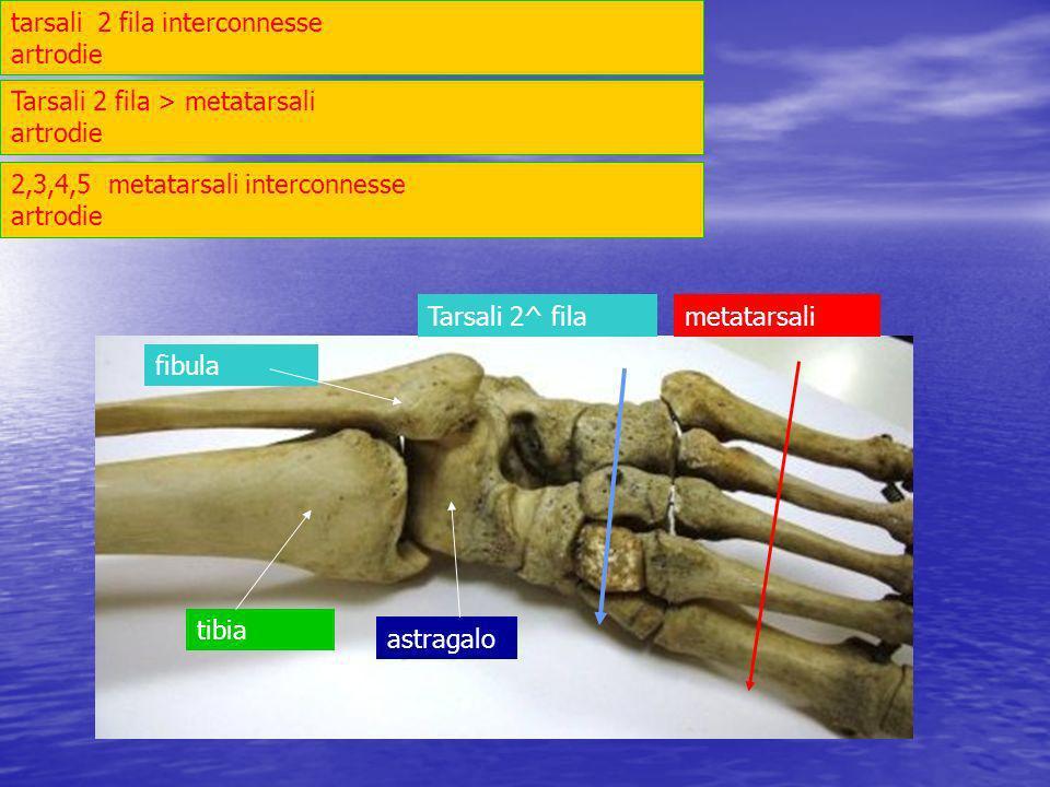 tarsali 2 fila interconnesse artrodie