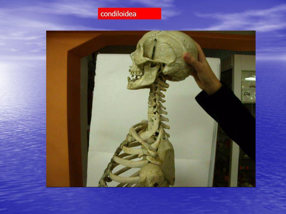 condiloidea