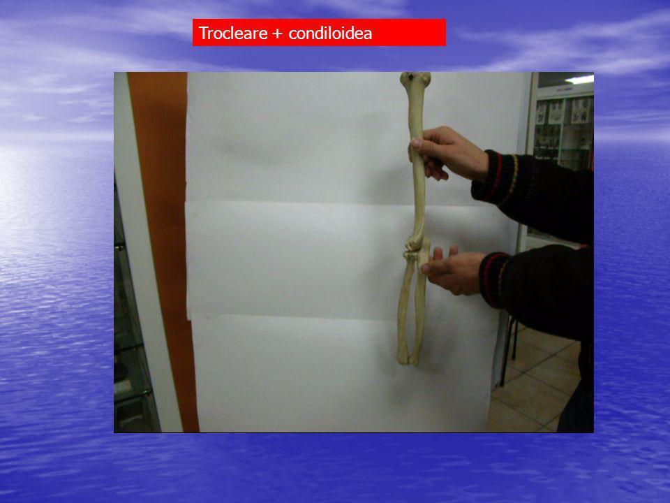 Trocleare + condiloidea