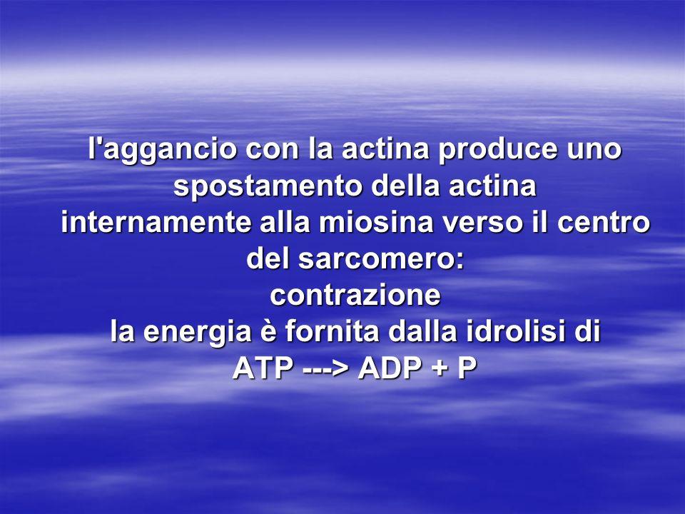 l aggancio con la actina produce uno spostamento della actina internamente alla miosina verso il centro del sarcomero: contrazione la energia è fornita dalla idrolisi di ATP ---> ADP + P