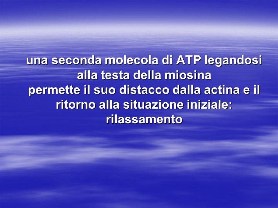 una seconda molecola di ATP legandosi alla testa della miosina permette il suo distacco dalla actina e il ritorno alla situazione iniziale: rilassamento
