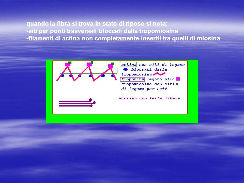 quando la fibra si trova in stato di riposo si nota: -siti per ponti trasversali bloccati dalla tropomiosina -filamenti di actina non completamente inseriti tra quelli di miosina