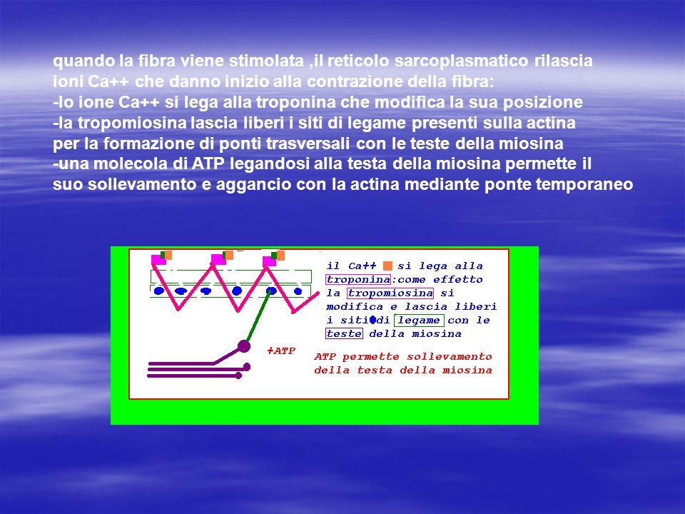 quando la fibra viene stimolata ,il reticolo sarcoplasmatico rilascia ioni Ca++ che danno inizio alla contrazione della fibra: -lo ione Ca++ si lega alla troponina che modifica la sua posizione -la tropomiosina lascia liberi i siti di legame presenti sulla actina per la formazione di ponti trasversali con le teste della miosina -una molecola di ATP legandosi alla testa della miosina permette il suo sollevamento e aggancio con la actina mediante ponte temporaneo