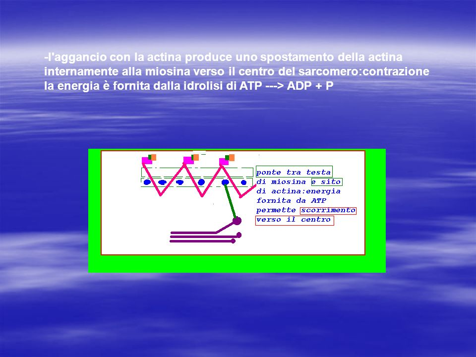 -l aggancio con la actina produce uno spostamento della actina internamente alla miosina verso il centro del sarcomero:contrazione la energia è fornita dalla idrolisi di ATP ---> ADP + P